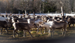 Support the native reindeers in Sami land, Europe