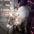New Idea for Gift-Giving: Adopt a Reindeer - New Nonprofit Saves Reindeer and the Sami Culture