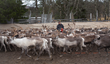 Reindeer herder in action