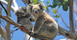 Koala Population to Enjoy a Safety Net As Funding Campaign Exceeds Its Goal