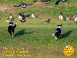 Geese Chasers™ is now offering no-cost geese clearing assessments to property managers.