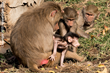 Baby baboon plays with family