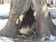 Heavy Snow on Trees Can Cause Serious Damage and Giroud Tree and Lawn Explains How To Identify a Dangerous Tree and Tree Service Actions Philadelphia Homeowners Can Take.