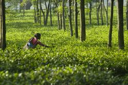 Teatulia Garden in Bangladesh