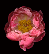 Paeonia by David Leaser