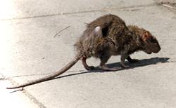 rat, huge, super rat, britain,