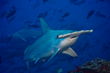 Shark Stewards: Saving Threatened Sharks