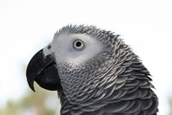 parrot, african grey, ghana, bird, decline, africa, forests,