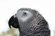 African Grey Parrots Drastically Drop in Numbers