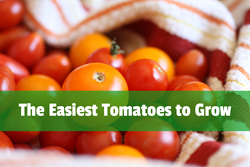Easiest Tomatoes to Grow