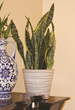 snake plant costa farms, easy to grow snake plant, plant personality