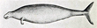 The Steller's Sea Cow shown in a sailor's sketch. (Public Domain image)
