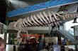 MOSI's Florida manatee skeleton. (MOSI image)