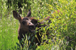 A moose calf snacks on a bush, one of many wildlife babies potentially on view during the Spring Wolves & Bears Expedition led by Wildlife Expeditions of Teton Science Schools out of Jackson Hole.