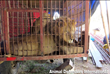 Rescue for Circus Lions: Oakland Zoo Teams Up with Animal Defenders International for Transport to Africa