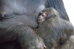 She is the first birth of her species at the zoo in 11 years and the fifth ever in the zoo's history.