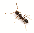 Ants Ready to Bug Homeowners this Spring