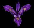 California Iris by David Leaser