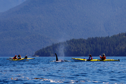 Kayaking with Killer whales in BC's Johnstone Strait