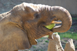 Donate Produce to Elephants at Oakland Zoo For Feast for the Beasts Event
