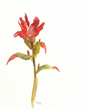 "Lee Riddell's ""Indian Paintbrush,"" 8.5x5.25"" watercolor on Sennelier paper."