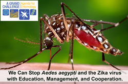 The Aedes aegypti mosquito, shown here, is the primary transmitter of Zika, dengue, chikungunya, and yellow fever. International entomologists at the Summit on the Aedes aegypti Crisis in the Americas to determine how to control the mosquito and the disea