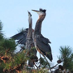 Juvenile Great Blue Herons on North Carolina's Brunswick Islands