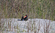 American Oystercatcher on her nest pictured at North Carolina's Brunswick Islands