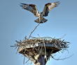 Osprey building a nest