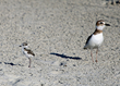 Wilson's Plovers on North Carolina's Brunswick Islands