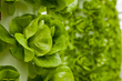 vertical growing indoors with aeroponics