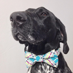 Gunnar modeling his Four Black Paws Turquoise Modern Plaid Dog Bow Tie.