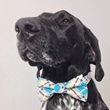 Hollywood Pups Get Their Preppy Style On Wearing Four Black Paws' Turquoise Modern Plaid Dog Bow Tie, as Gifted at Celebrity Gift Lounge Leading Up to MTV Movie Telecast