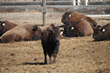 HOME AGAIN: Buffalo Brought Back to Their Original Homeland & Oakland Zoo