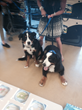 Passover Seder for Dogs St Bernards