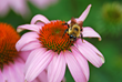 A bee pollinates a purple coneflower.