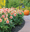 Use shorter more compact border dahlias, like 'Gallery Pablo' in containers on your patio where you and the hummingbirds will enjoy their blooms.