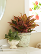 Red aglaonema, costa farms houseplant, O2 For You
