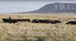 Diamond A Ranch, Cholla Livestock, SweetPro, Natural Beef Program