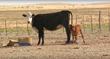 Diamond A Ranch, Cholla Livestock, SweetPro, cattle, horse, supplement, lick block