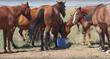 Horses, Diamond A Ranch, Cholla Livestock, SweetPro, EquiLix