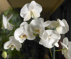 costa farms orchid, plants for teachers