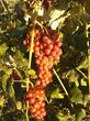 Catawba grapes growing.