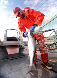 Fisherman John Bocci picks a Copper River sockeye salmon from his net.