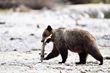 Grizzly bear eating salmon, credit Wynne Powell