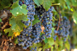 Visit Temecula Valley Anticipates a Delicious New Crop of Temecula Valley Southern California Wines Despite the Drought