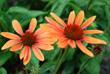 Echinacea Costa Farms, Perennial Gardening How-to