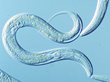 Tiny, transparent nematodes have a high degree of genetic and neurophysiological similarity to humans.