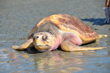 South Carolina Aquarium Turtle Trek 5K Run to Benefit Threatened and Endangered Sea Turtles