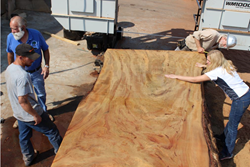 Jennifer Alger of Far West Forest Products salvaging pieces from a fallen urban tree in Sacramento, CA.